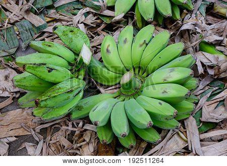 Harvesting green banana at the plantation in Mandalay Myanmar.