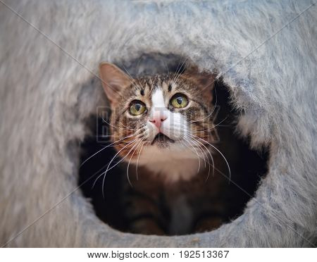 The domestic striped cat looks out of a cat's lodge.