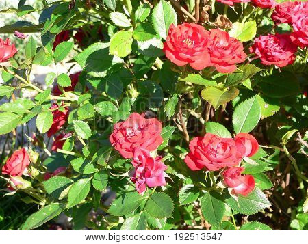 Red flowering roses in rock.Natural outdoor background