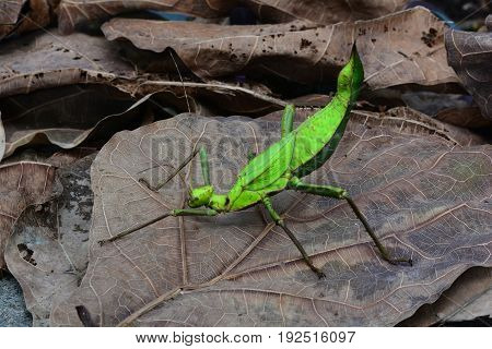 A Malaysian stick bug poses for its portrait in the jungle environment.
