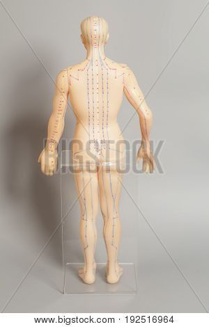 Medical acupuncture model of human on gray background