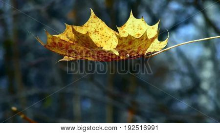 Lonely yellow golden autumn leaf last flight sadness silence nature forest trees