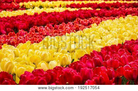 garden flowers - red and yellow tulips red Keukenhof, Netherlands, Holland
