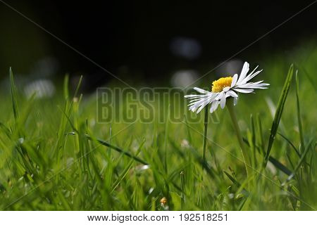 Single White Marguerite, Daisy In Green Grass Meadow