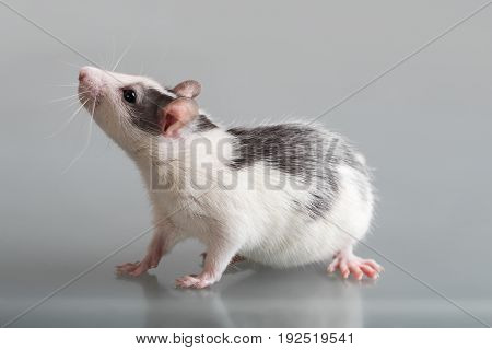 portrait of domestic baby rat close up