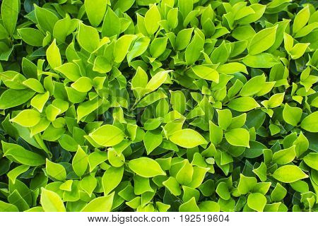 Tropical plant  foliage plants of Southeast Asia