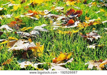 Fallen yellow autumn leaves in green grass in sunny Indian summer time