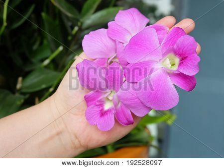 Ecology and Environment Concept Hand Holding Fresh Pink Phalaenopsis or Pink Orchid Flower Streak.