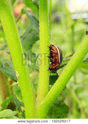 colorado bug crawles on the green potato stalk