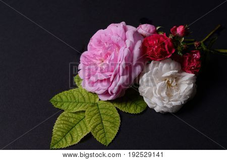 Roses flowers on a black background. Low key background