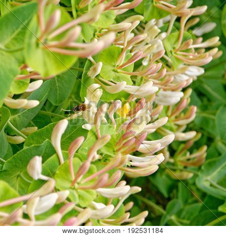 Blooming Italian woodbine Lonicera caprifolium with hoverfly on it