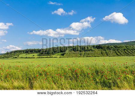 Corn Rose On A Field