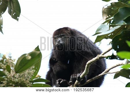 Yucatan black howler or Guatemalan Black Howler Monkey with a Baby
