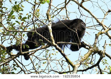 Yucatan black howler or Guatemalan Black Howler Monkey in the branches
