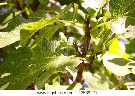 Fig. Green figs on the tree. Mediterranean plant.