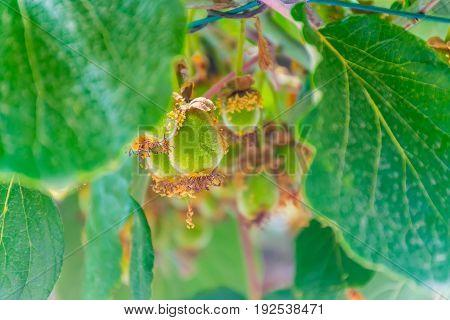 Beautiful Fruit Kiwi Ripen In The Picturesque Gardens Of Montenegro.