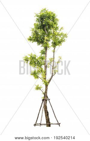 Trees Isolated On White Background With Clipping Path
