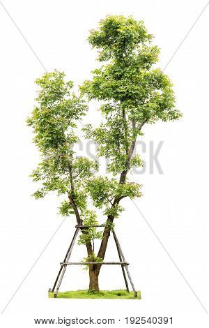 Trees isolated on white background Clipping path