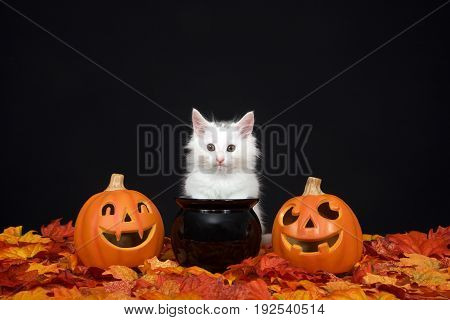 One fluffy white kitten sitting behind a black cauldron with jack o lanterns on both sides surrounded by fall autum leaves black background.