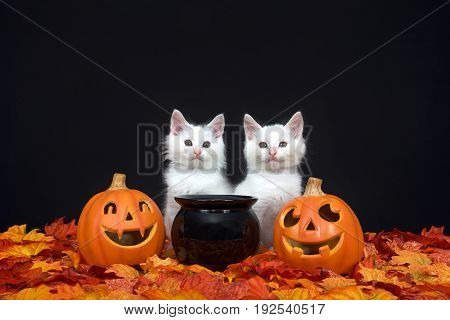 Two fluffy white kittens sitting behind a black cauldron with jack o lanterns on both sides surrounded by fall autum leaves black background.