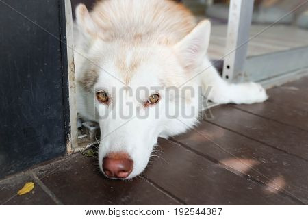 sleepy siberian husky dog on the floor