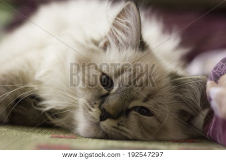 A cute kitten lies on the couch, looks into the camera lens