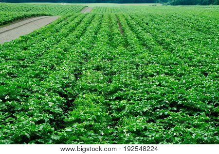 Potato field monoculture. Ecological agriculture. Perspective view