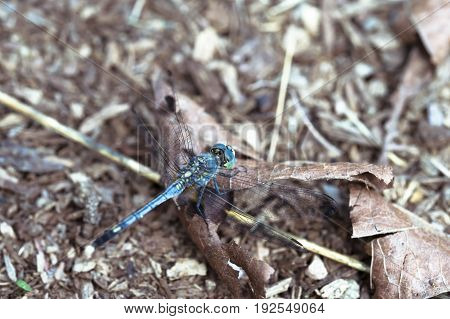 Soft focus on Blue dragonfly and dry leaf on the ground. Beautiful nature.
