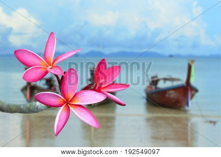View of pink frangipani flower on the beach