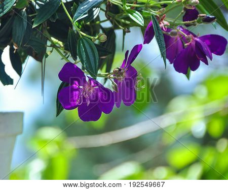 Purple Melastomataceae Flowers At The Garden