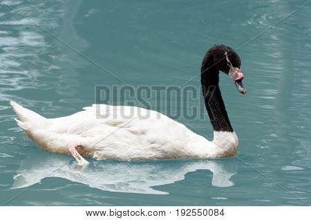 white swan swiming in the beautiful lake