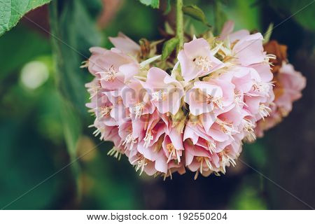 Dombeya Wallichii Or Pink Ball Or Pink Ball Tree. This Hanging Flower Clusters Are Pink, Showy And F