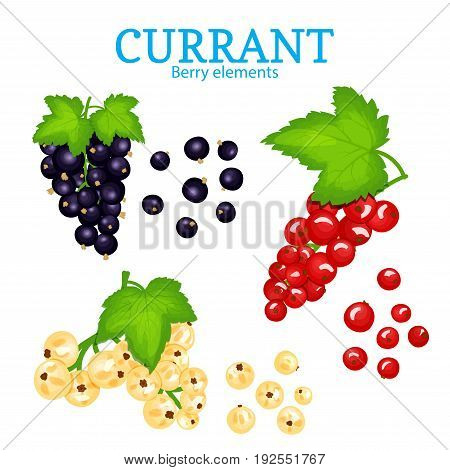 Vector set of a fresh currant. White black and red berries one by one and groups on branches and leaves. Collection of ripe black currantberry fruits for packaging design of juice, breakfast, jam, ice cream, smoothies.