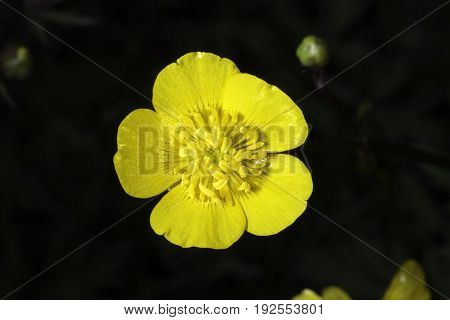 Yellow Buttercup Flower with a dark backround.