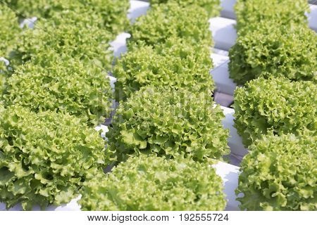 lettuce hydroponic in farm ,with plastic film .