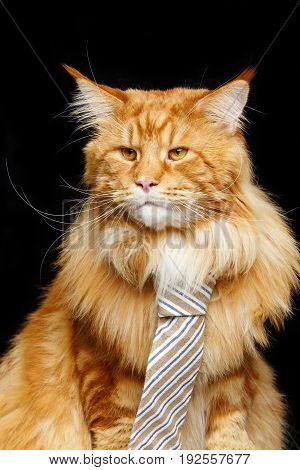 beautiful big maine coon cat with stripes tie. Copy space. Studio shot on black background.