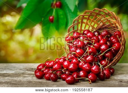 cherry basket. Ripe cherries in wicker basket on wooden table with sunshine blurred cherry tree on the background. Gardening, orchard and harvest concept. Fresh summer berries