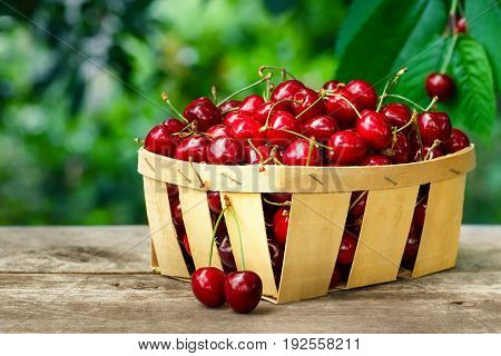 cherry basket. Ripe cherries in basket on wooden table with cherry tree on the background. Gardening, orchard and harvest concept. Fresh summer berries