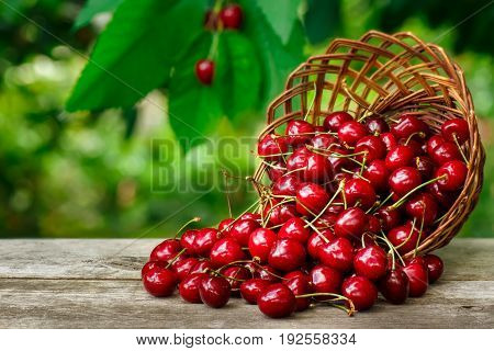 cherry basket. Ripe cherries in wicker basket on wooden table with blurred cherry tree on the background. Gardening and harvest concept. Fresh summer berries
