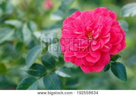 closeup of beautiful pink fairy rose with blurred green background. Bush of miniature groundcover rose. Natural background. Gardening concept