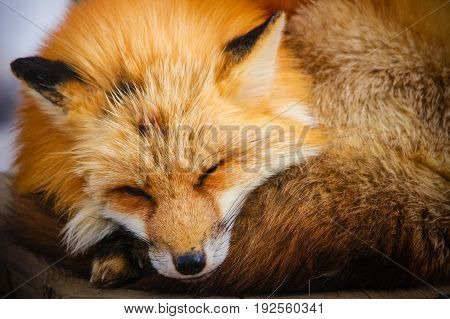 sleepy red fox in winter snow at Zao fox village, Miyagi, Japan