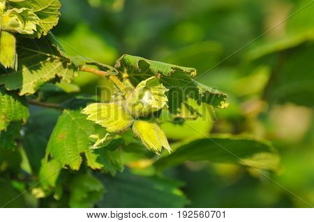 Green hazelnuts and tree leaves in summer. Hazelnuts in nature