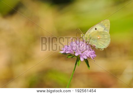 Clouded Yellow, Colias crocea, Beautiful yellow butterfly on wildflower. Yellow butterfly in a green meadow