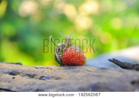 Garden snail creeping on a ripe strawberry. Snail on strawberry