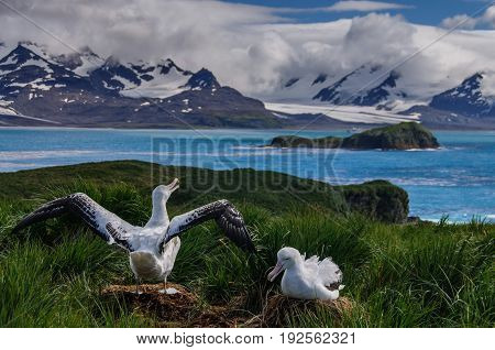 The largest bird of the southern ocean, the magnificent giant wandering albatross nests at south Georgia. The oftentimes form dedicated couples. Here one is raising it's wings.