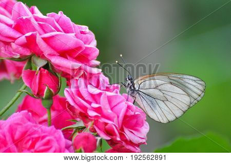 Aporia crataegi, Black Veined White butterfly in nature. White butterflies on pink roses