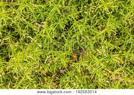 Natural abstract background leaves ground-cover green plant close-up