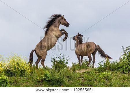 Konik horses fighting in the Oostvaardersplassen reserve in the Netherlands