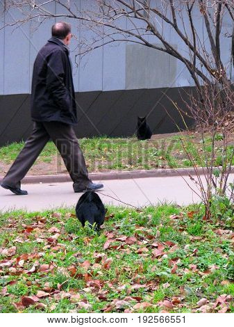 Moscow Russia November 18 2010: Two black cats sit near a footpath along which a man walks.