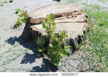 Green shoots on the old big poplar tree stump.